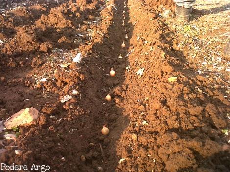Notizie dall orto semina delle cipolle e delle fave for Semina cipolle