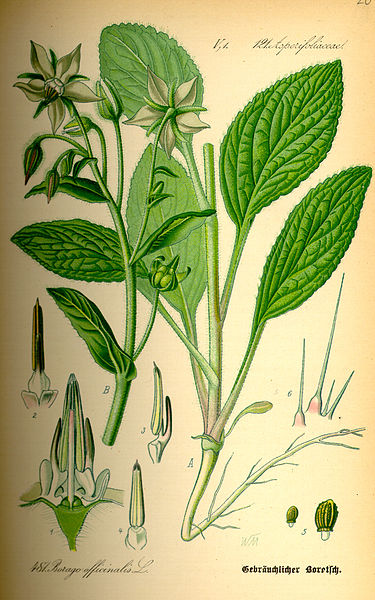 Illustration_Borago_officinalis0